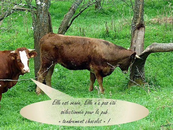 13 958 septembre 2017 les vaches au chocolat  sourire!